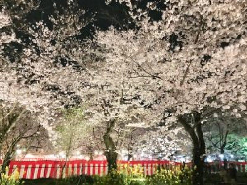 平野神社夜桜2