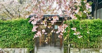 妙満寺桜3