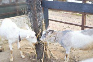 ヤギの昼ご飯