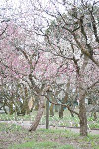 北野天満宮の梅苑