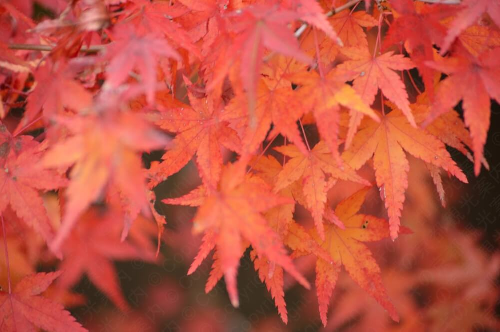 天授庵の紅葉