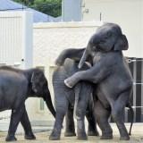 京都市動物園・ゾウ