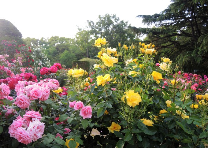 京都府立植物園・バラ園