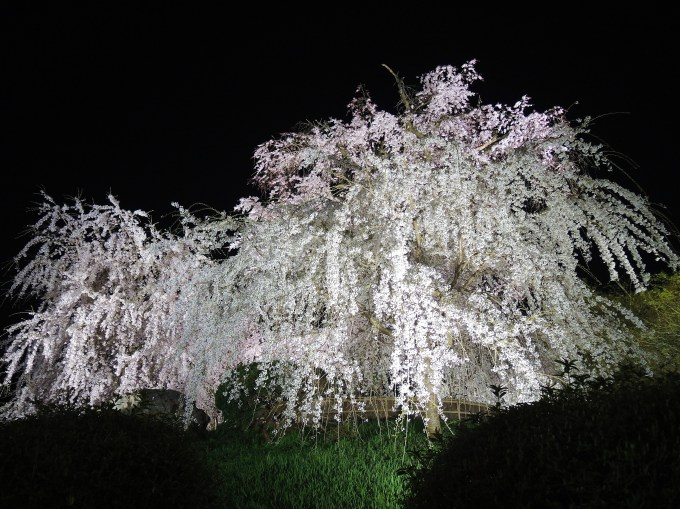 京都「祇園の夜桜」