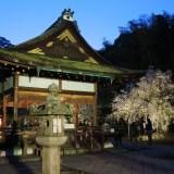 京都「平野神社」桜・ライトアップ