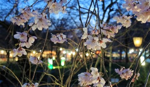 🌸 京都の桜の名所「平野神社」桜苑・ライトアップ