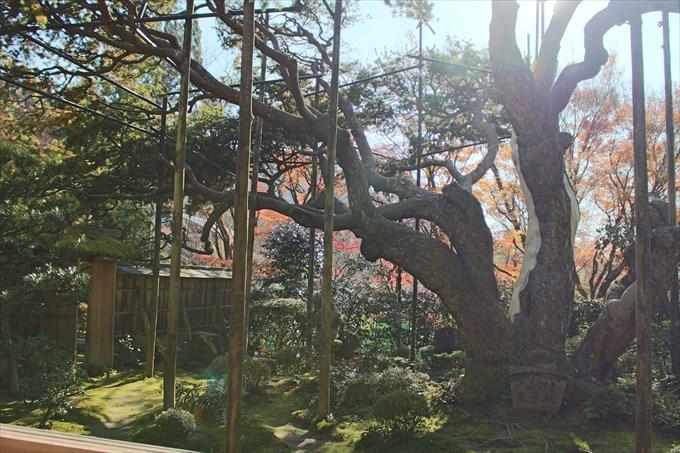 24_2庭園の五葉松