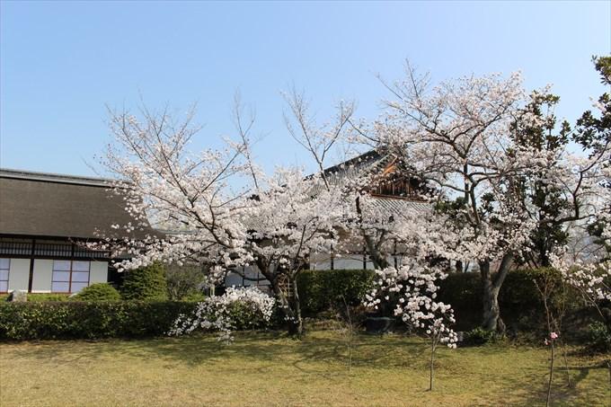 54桜と宸殿(左は書院)