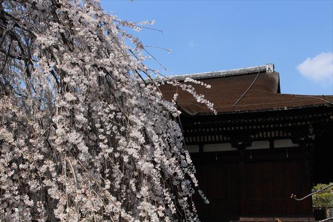 15おかめ桜と本堂