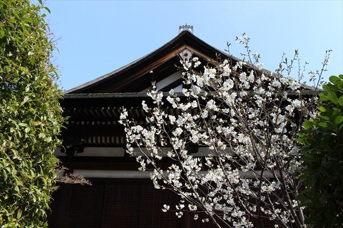 22本堂の側面と桜