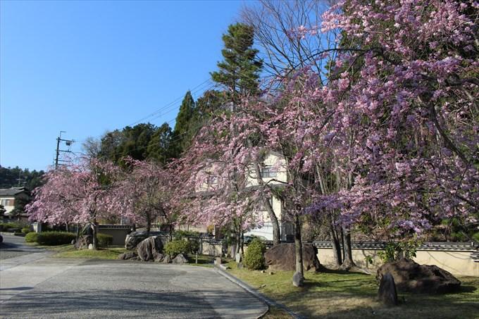 18妙満寺の桜園2