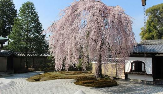 高台寺の桜!見ごろはいつ?写真でご紹介♪