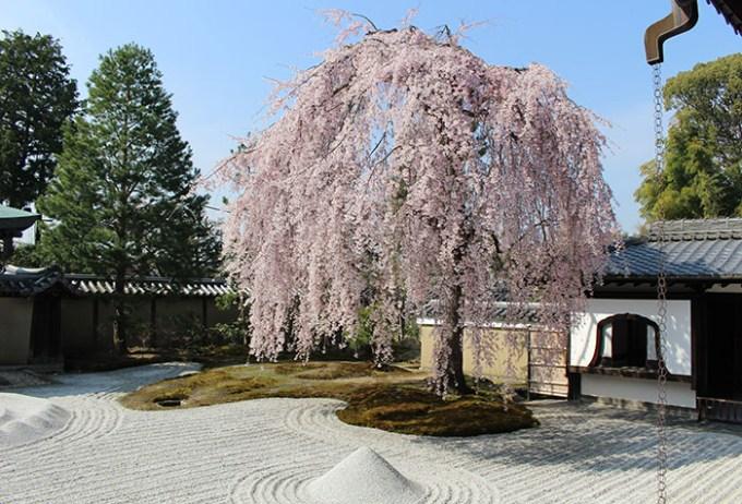 11高台寺の桜と窓