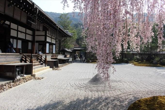 15方丈と桜