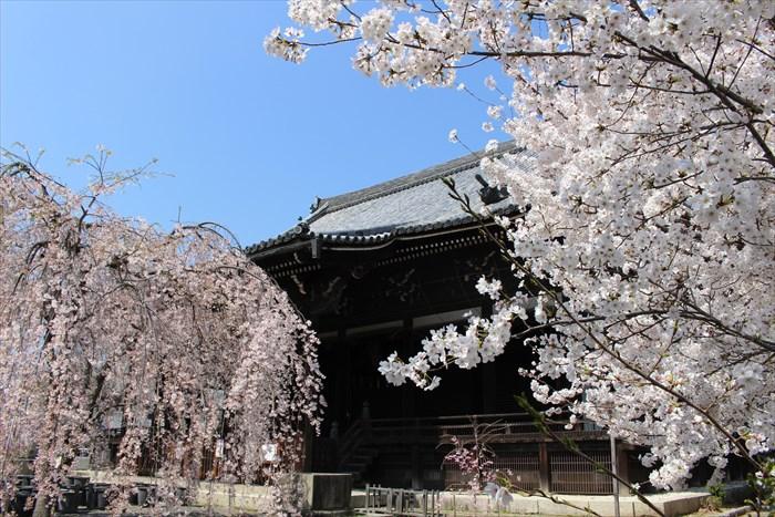 23本堂と桜