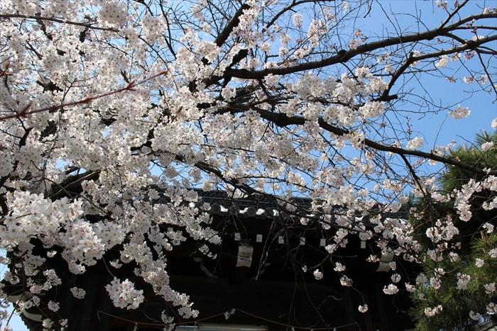 4立本寺正門上部と桜