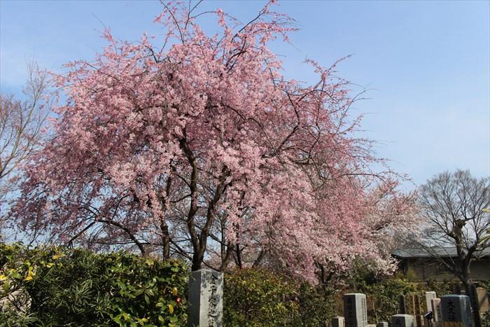 9墓地の桜