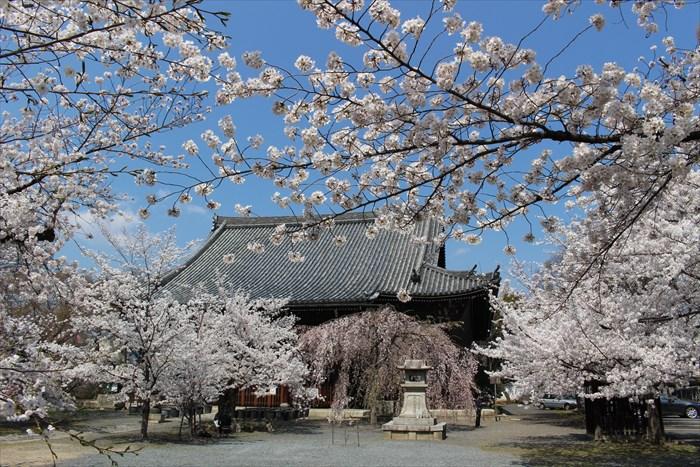 16立本寺・本堂と桜