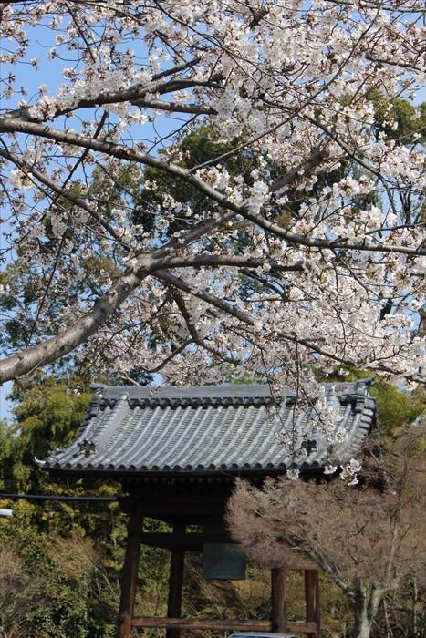 27高台寺の鐘楼と桜