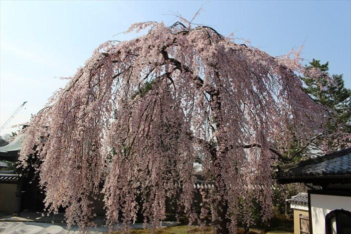10枝垂れ桜