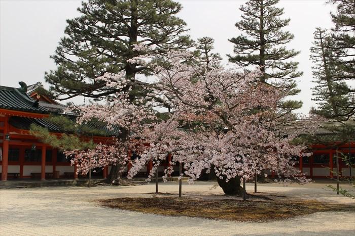 47.応天門東側の桜は散りかけでした