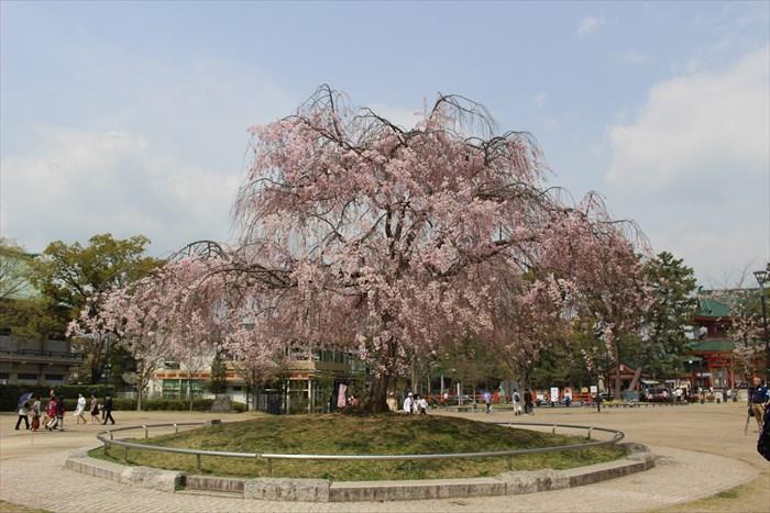 3.神宮道沿いの公園のしだれ桜
