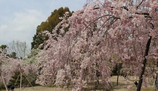 平安神宮の桜が満開♪例年の見ごろはいつ?