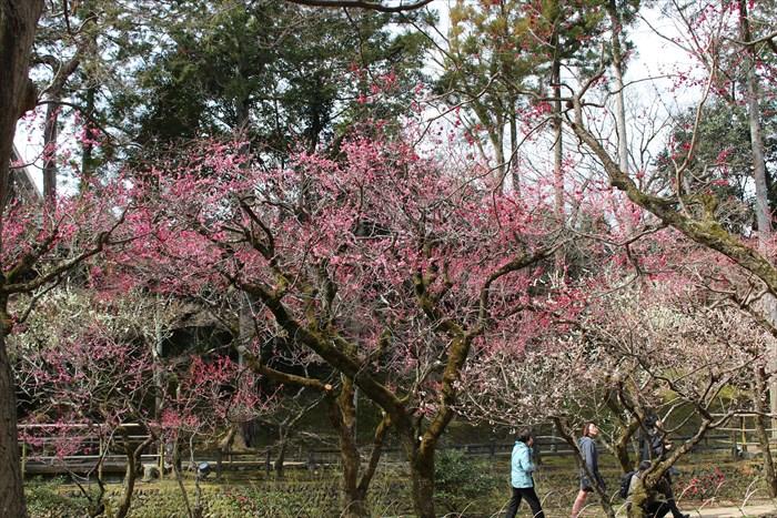 0-4.紅、白、ピンクの梅