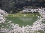 木津川畔の桜