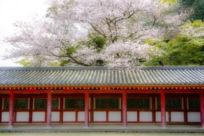 石清八水幡宮桜