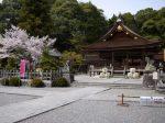 出雲大神宮桜