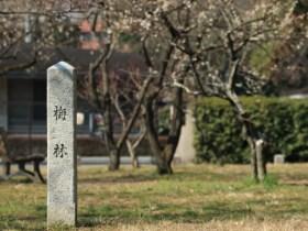 京都御苑梅見ごろ
