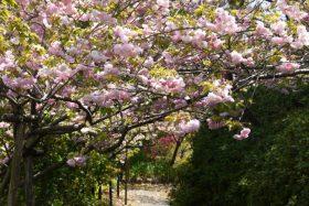 梅宮大社桜