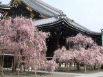 仏光寺桜見ごろ
