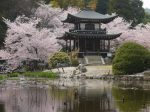 勧修寺桜見ごろ