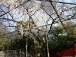 車折神社桜見ごろ