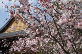 妙蓮寺桜見ごろ