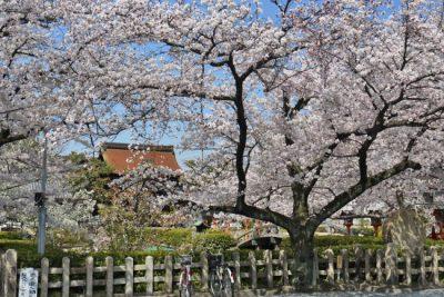 六孫王神社桜見ごろ