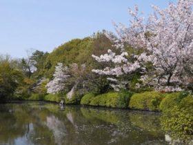 神泉苑桜見ごろ