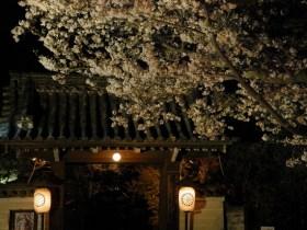 将軍塚青龍殿桜見ごろ