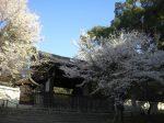青蓮院桜見ごろ