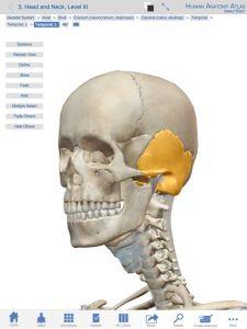 黄色い部分が側頭骨です