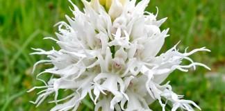 orchis ita albino
