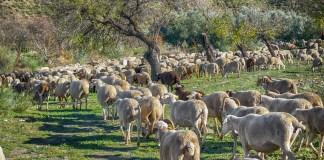 provato-sheep