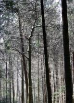 Wald_von_Ennor17