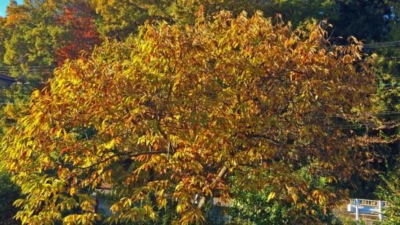 2015クリの木紅葉