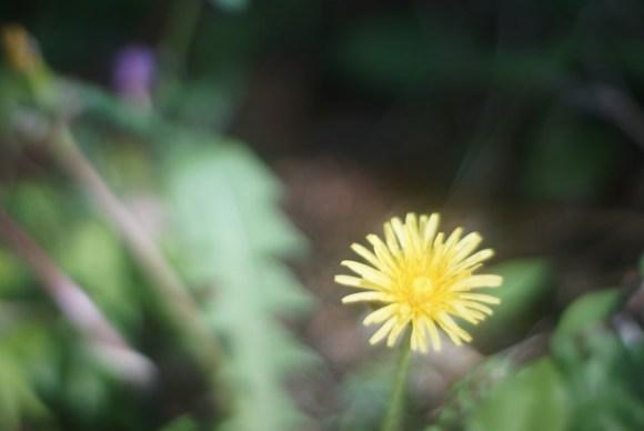 遅咲きのタンポポ