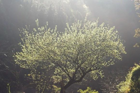 梅の木の若葉