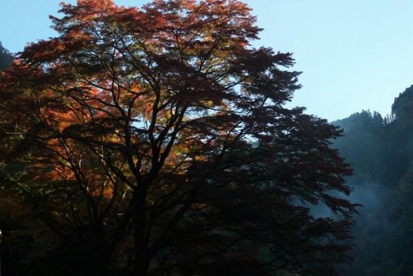 奥多摩 いろは楓の紅葉