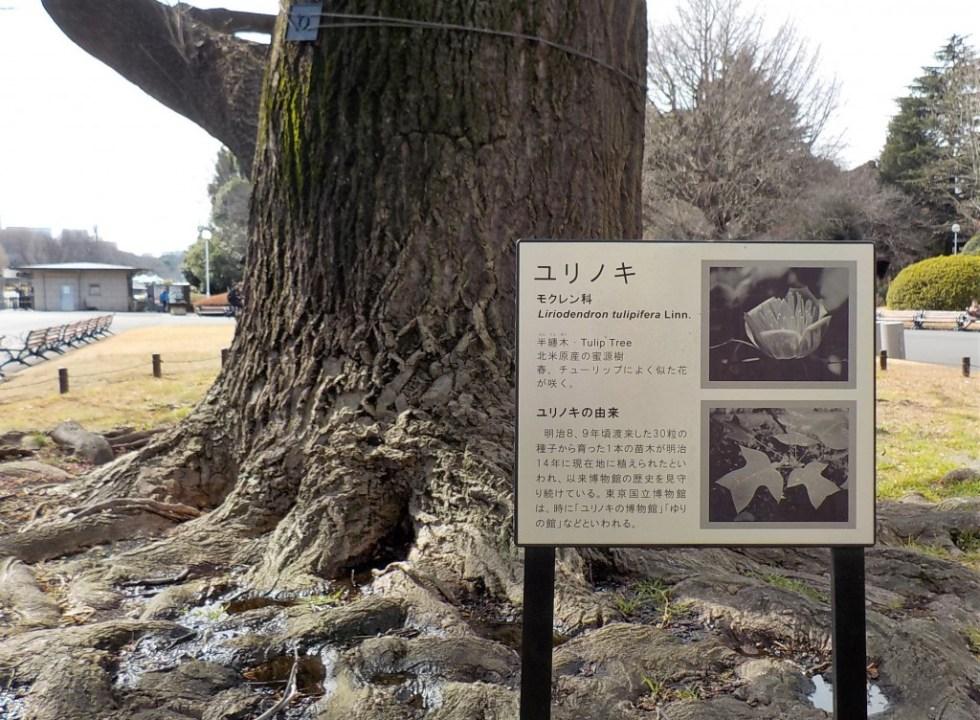 東京国立博物館 本館前 ユリノキ